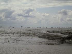 Vogelwelt auf dem Schlickwatt.