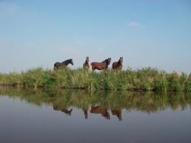 Pferde am Greetsieler Sieltief