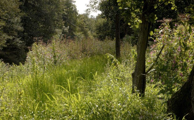 Neophyten im Ihlower Wald (2017)